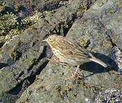 Pipit antarctique