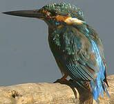 Martin-pêcheur de Blyth
