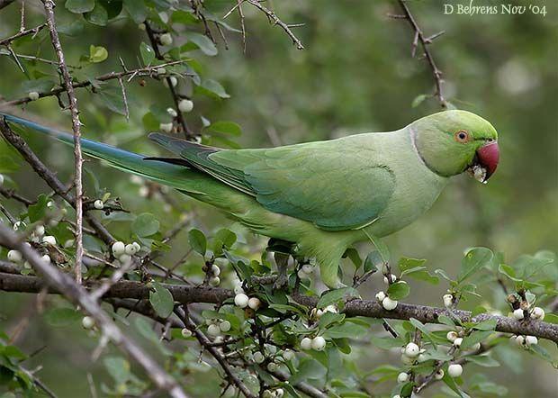 http://www.oiseaux.net/photos/dave.behrens/images/perruche.a.collier.dabe.1g.jpg