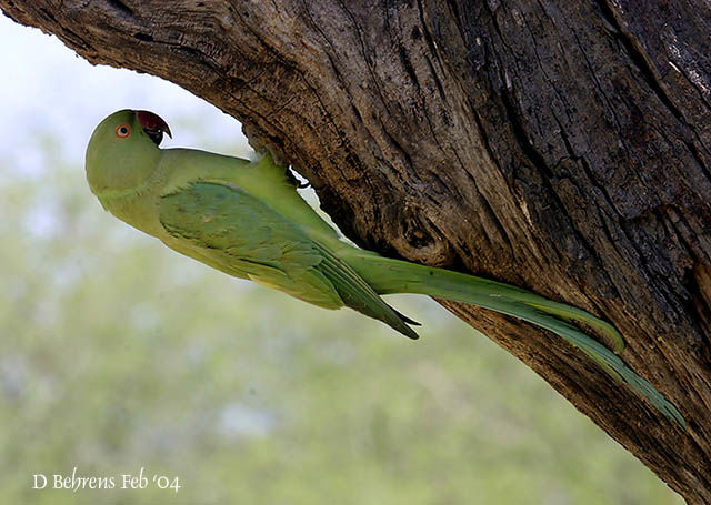 http://www.oiseaux.net/photos/dave.behrens/images/perruche.a.collier.dabe.2g.jpg