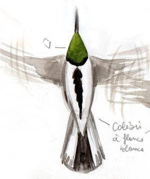Colibri à flancs blancs