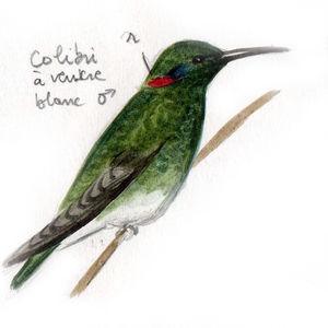 Colibri à ventre blanc