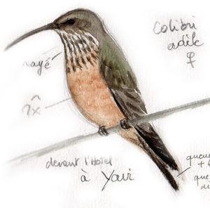 Colibri adèle