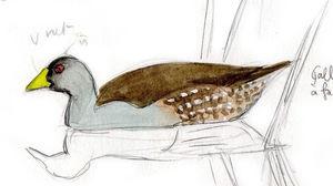 Gallinule à face noire