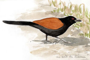 Grand Coucal