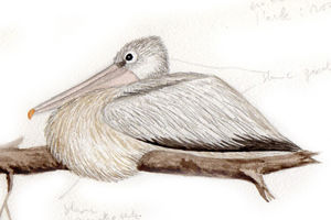 Pélican gris