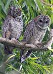 Mottled Wood Owl