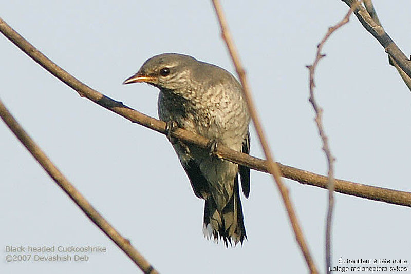 Black-headed Cuckooshrike female adult