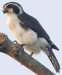 Fauconnet noir et blanc