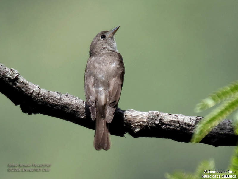 Asian Brown Flycatcher adult
