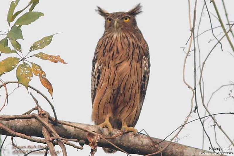 Strigformes: Famíla Strigidae- sub fam. Buteonidae. Género Ketupa (por vezes incluído em Bubo) Ketoupa.brun.dede.1g