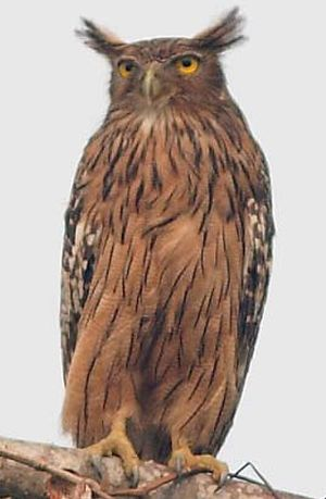 Kétoupa brun