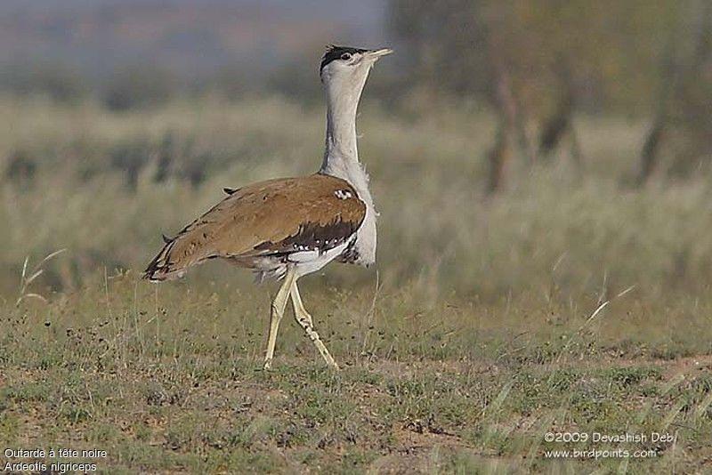 http://devashish.deb.oiseaux.net/images/outarde.a.tete.noire.dede.1g.jpg