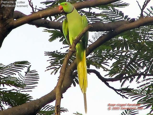 http://devashish.deb.oiseaux.net/images/perruche.a.collier.dede.1g.jpg