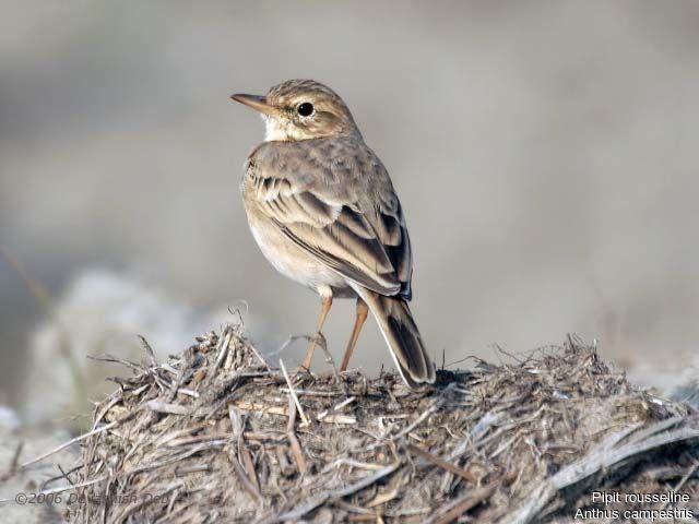 un oiseau - blucat - 19 août trouvé par ajonc Pipit.rousseline.dede.1g