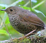 Scaly-breasted Wren-babbler