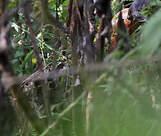 Bambusicole de Chine