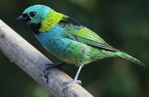Calliste à tête verte