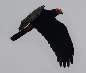 Caracara noir