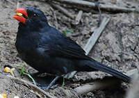Cardinal fuligineux