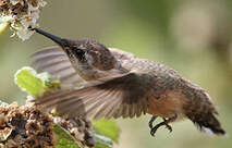 Colibri à queue courte