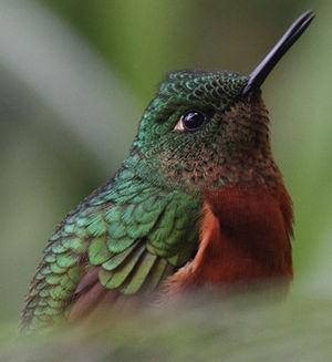 Colibri de Matthews