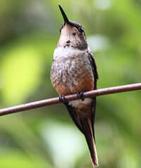 Colibri magenta