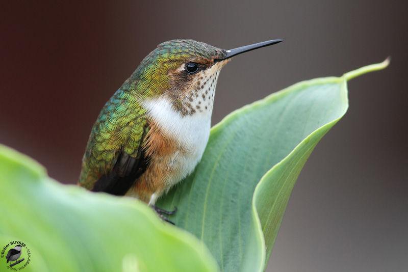 http://www.oiseaux.net/photos/didier.buysse/images/colibri.scintillant.dibu.1g.jpg