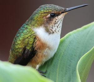 Colibri scintillant