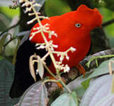 Coq-de-roche péruvien