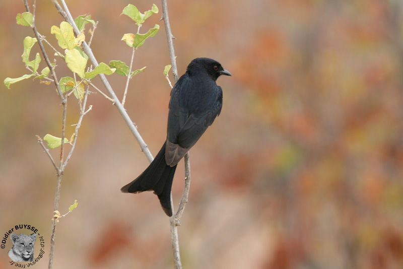 Drongo brillant adulte, identification