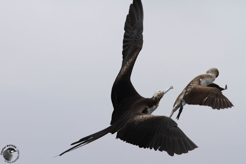 Magnificent frigatebird range - photo#42