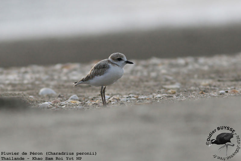 Malaysian Plover female adult breeding
