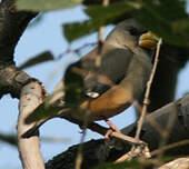 Gros-bec migrateur