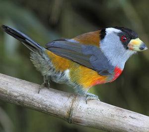 Cabézon toucan