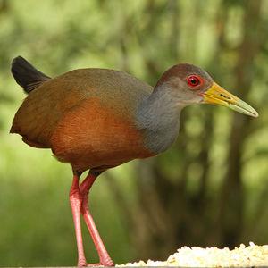 Râle de Cayenne