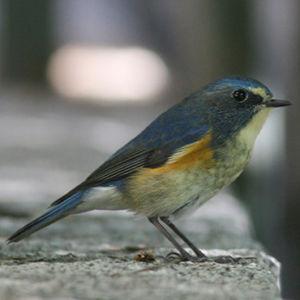 Robin à flancs roux