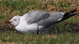 Mouette à tête grise