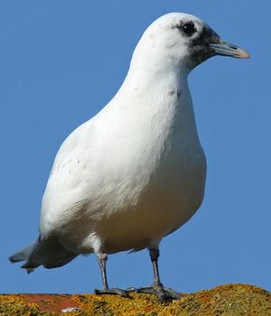 Mouette blanche