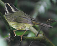 Paruline du Costa Rica