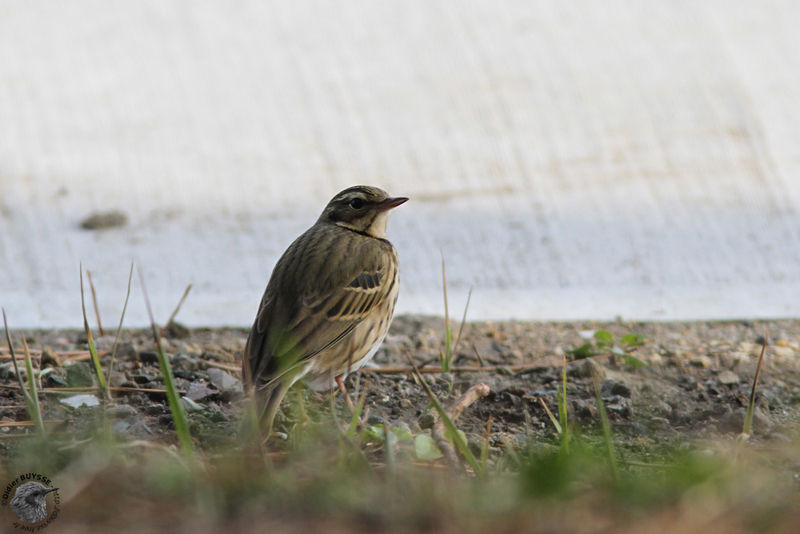 Pipit à dos olive adulte, identification