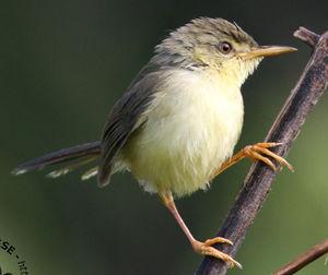 Prinia ventre jaune prinia flaviventris for Oiseau ventre jaune