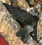 Salangane à nid blanc