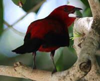 Tangara du Brésil