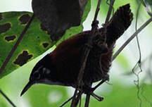 Troglodyte à calotte noire