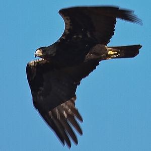 Aigle ibérique
