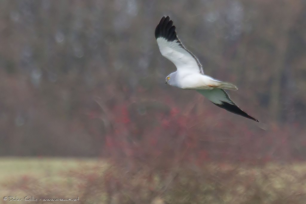 Male hen harrier photos Personalised Photo Books Albums Photobook Online
