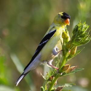 Chardonneret jaune photos for Oiseau jaune france