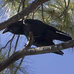 Grand corbeau des Canaries