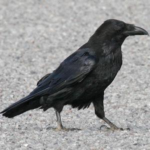 Grand Corbeau